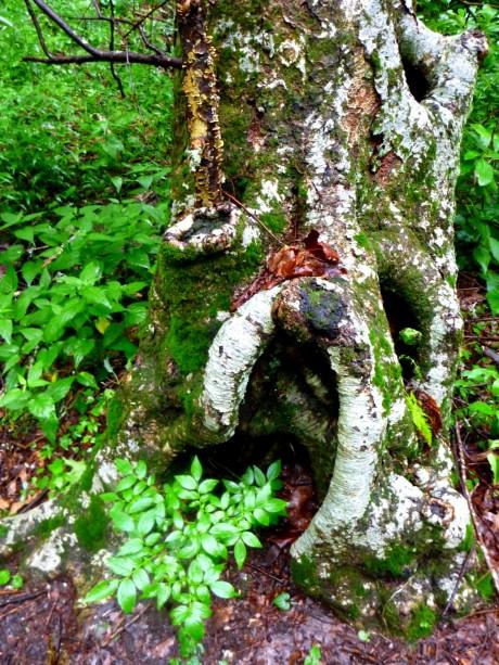 Gnarly tree trunk.