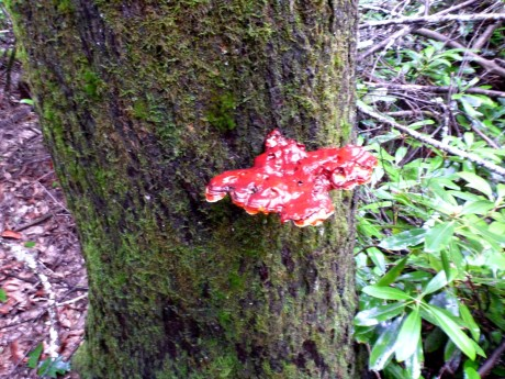 Red fungus.