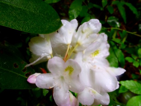 This rhodo blossom wanted to be admired.