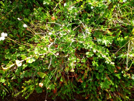 Dwarf birch. It has tiny, delicately indented leaves.