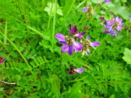 A kind of vetch, I think.