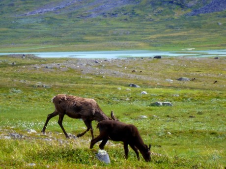 Reindeer calf and mother.