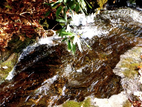 Ice formed on the rhodo over the stream.