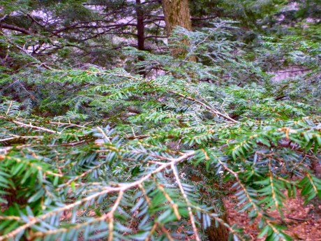 So refreshing to see healthy-looking hemlock needles.
