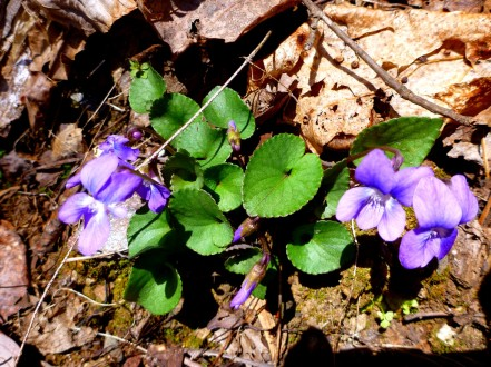 Violets. According to one source, there are 31 species of violets in the Smokies. I will not try to specify any of my violets.