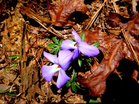 One of these violets has a small insect enjoying itself.