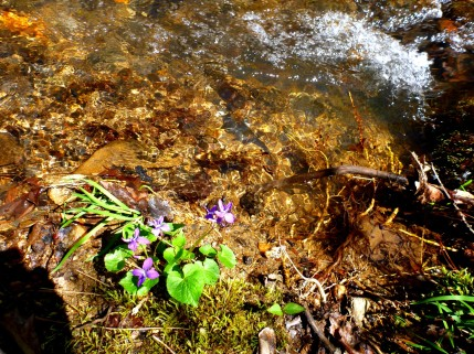 Violets next to a very small stream.