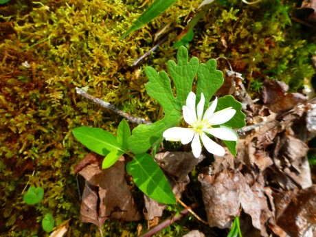 Ah! Another one I really wanted to see! A bloodroot.
