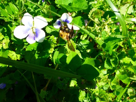 Bee and violet. So much life going on around us, nearly invisibly.