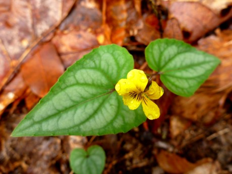 Halberd-leaved yellow violet. One of the few violets that I can identify.