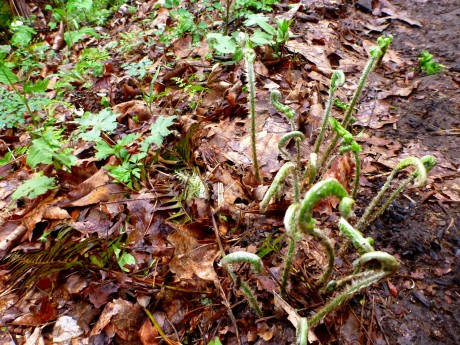 I have a weakness for unfurling ferns.