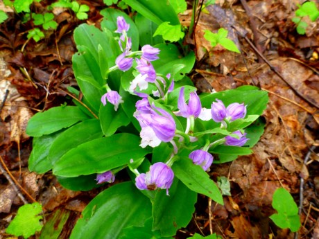 Showy orchis.